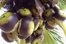 Fruit palme