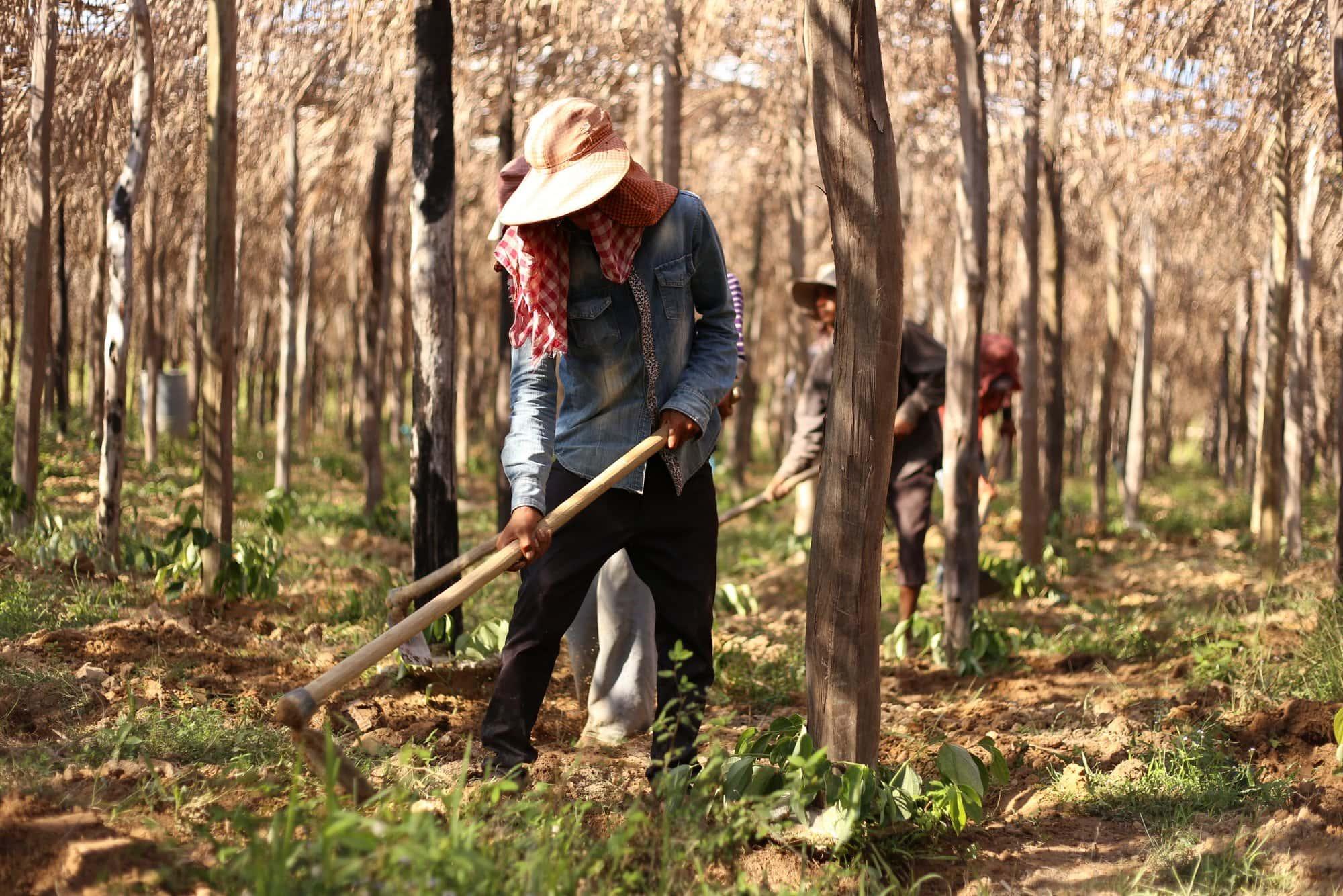 Les origines du poivre de Kampot